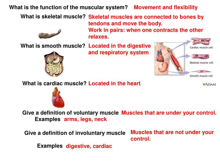 What is the function of the muscular system?