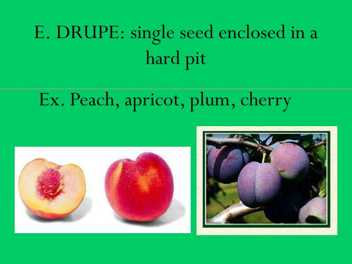 E. DRUPE: single seed enclosed in a hard pit
