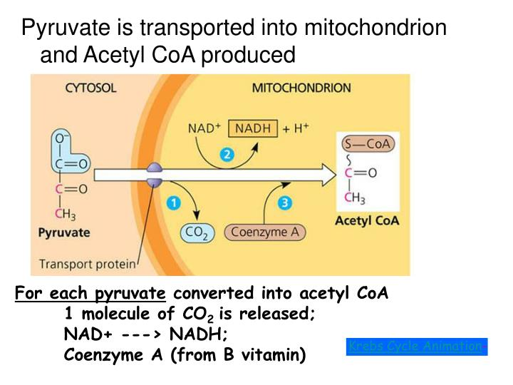 Pyruvate is transported into mitochondrion