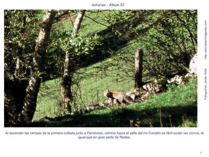 Al ascender las rampas de la primera collada junto a Pendones, camino hacia el valle del río Corralín es fácil poder ver zorros, al igual que en gran parte de Redes.