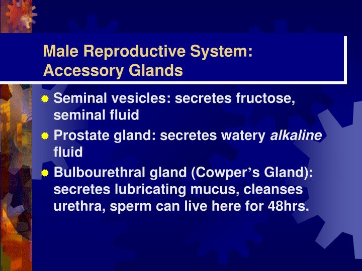 Male Reproductive System: