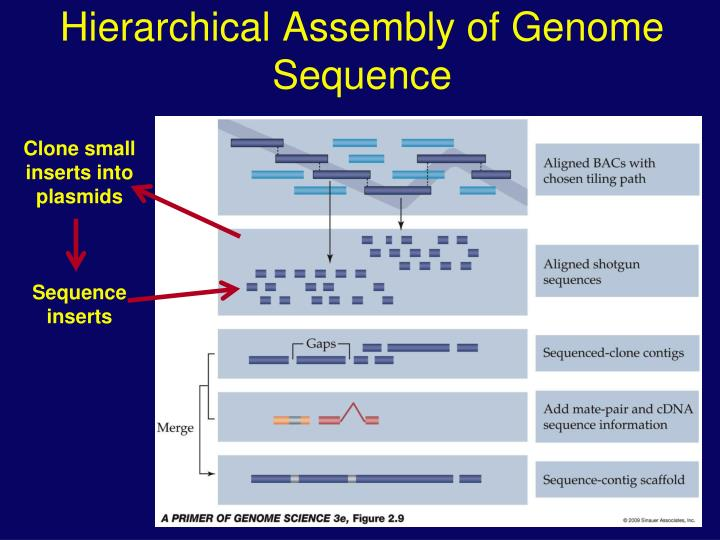 hierarchical assembly of genome sequence n.