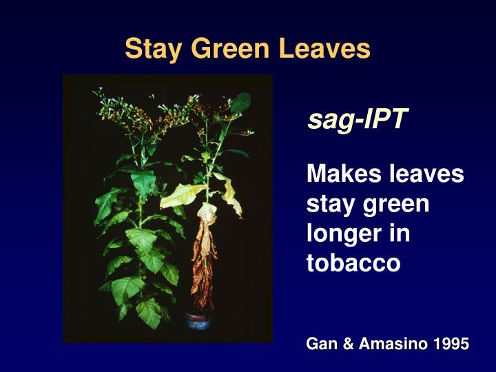Stay Green Leaves