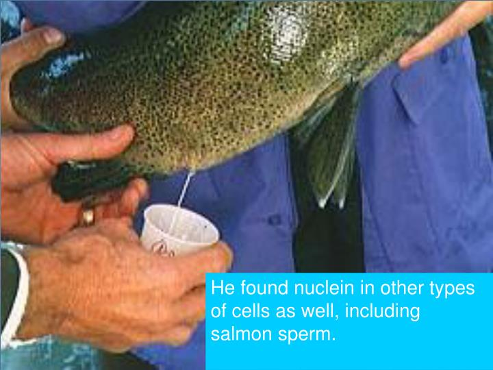 He found nuclein in other types of cells as well, including salmon sperm.