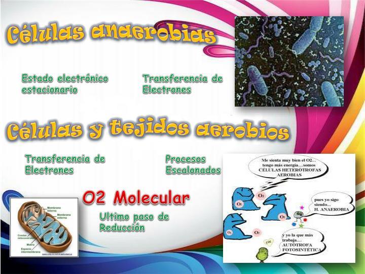 Células anaerobias