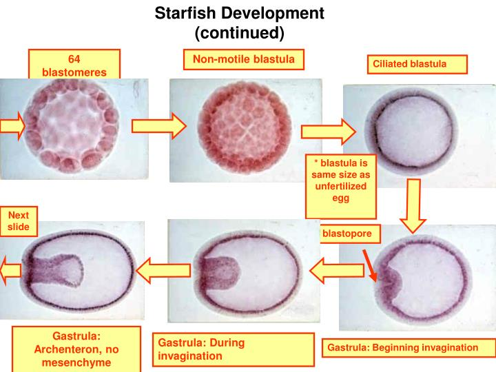 Starfish Development (continued)