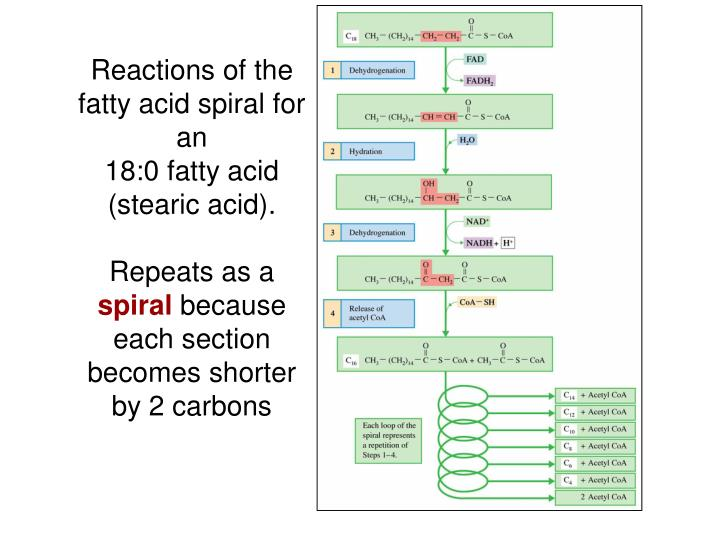 Reactions of the fatty acid spiral for an