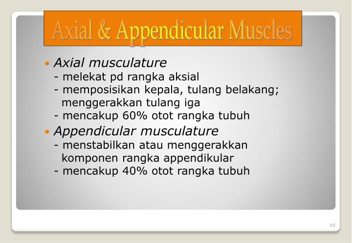 Axial musculature