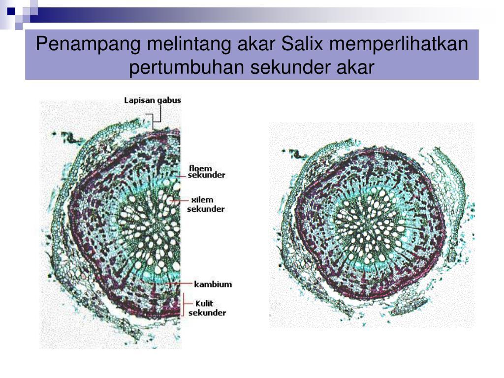 Ppt Anatomi Akar Powerpoint Presentation Free Download Id 3845383