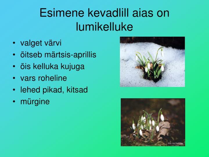 Esimene kevadlill aias on lumikelluke