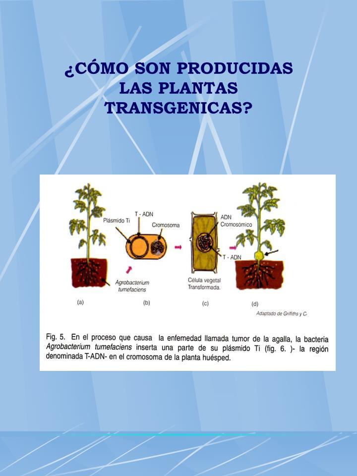 ¿CÓMO SON PRODUCIDAS LAS PLANTAS TRANSGENICAS?
