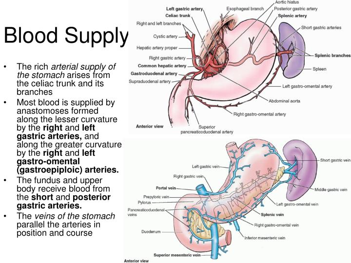PPT - Stomach Anatomy and Physiology PowerPoint Presentation - ID ...