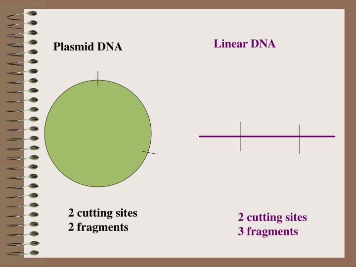 Linear DNA