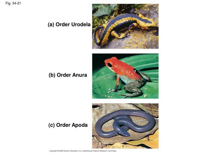 (a) Order Urodela