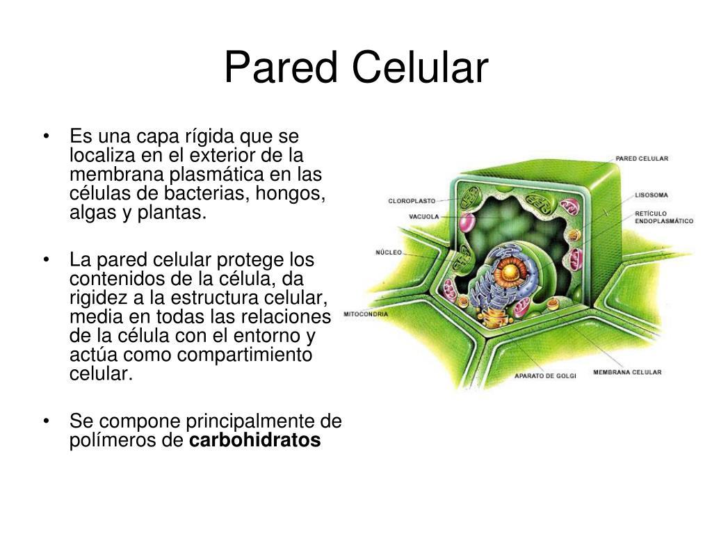 Ppt La Célula Powerpoint Presentation Free Download Id