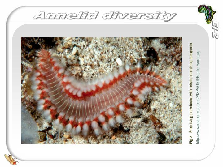 Fig 3.  Free living polychaete with bristle containing parapodia