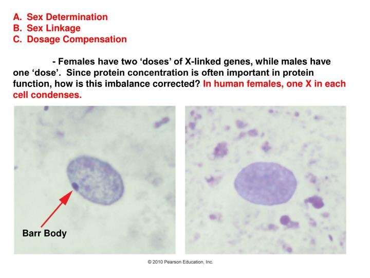 chromosomal sex determination ppt in Red Deer