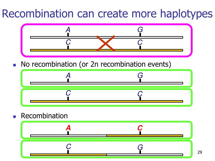 Recombination can create more haplotypes