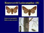 bourovcovit lasiocampidae 18