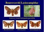 bourovcovit lasiocampidae