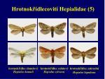 hrotnok dlecovit hepialidae 5