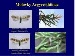 molovky argyresthiinae1