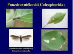 pouzdrovn kovit coleophoridae