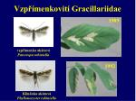 vzp menkovit gracillariidae1