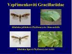 vzp menkovit gracillariidae3