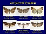 zav je ovit pyralidae