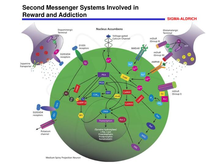 Second Messenger Systems Involved in