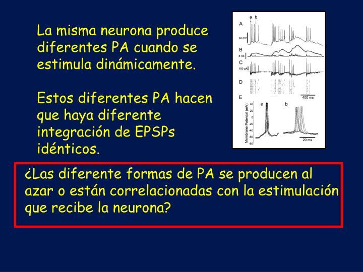 La misma neurona produce diferentes PA cuando se estimula dinámicamente.