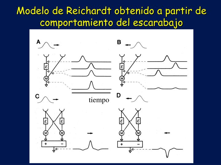 Modelo de Reichardt obtenido a partir de comportamiento del escarabajo