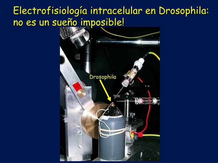Electrofisiología intracelular en Drosophila: