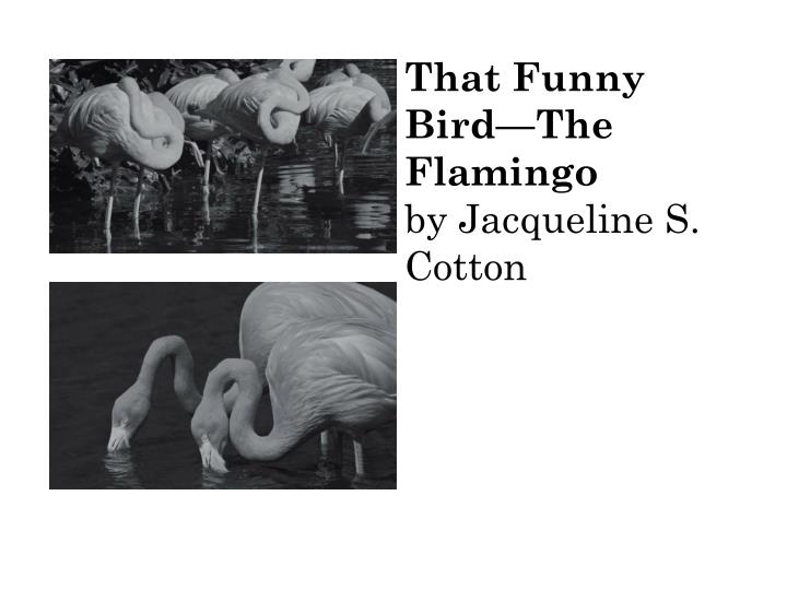 That funny bird the flamingo by jacqueline s cotton