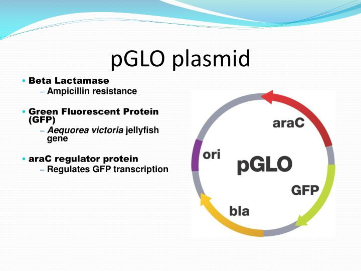 transformation of escherichia coli with pglo Plasmid into e coli by transformation laboratory exercise you will change the genotype of escherichia coli in the pglo plasmid.