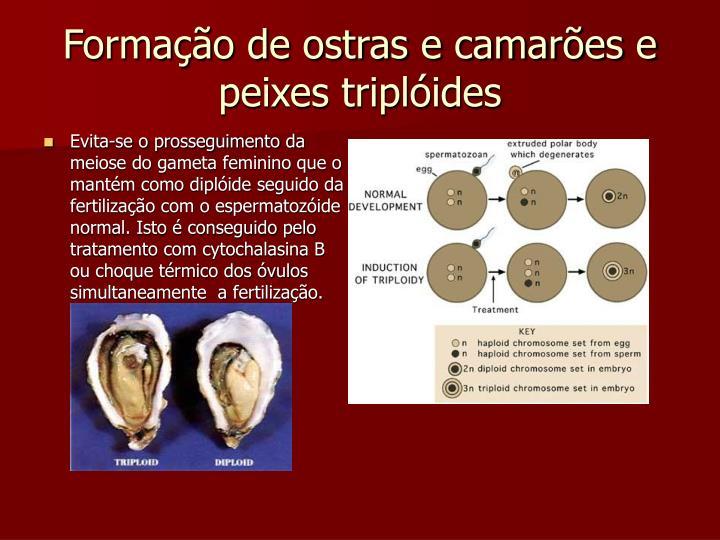 Formação de ostras e camarões e peixes triplóides
