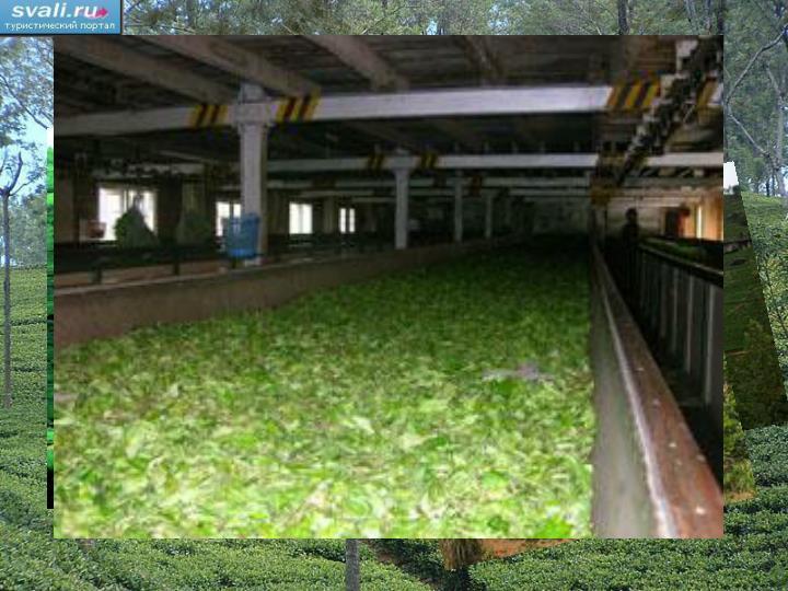 Выращивание чая