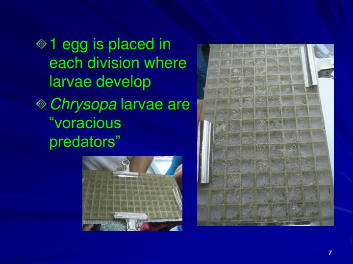1 egg is placed in each division where larvae develop