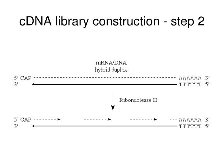 cDNA library construction - step 2