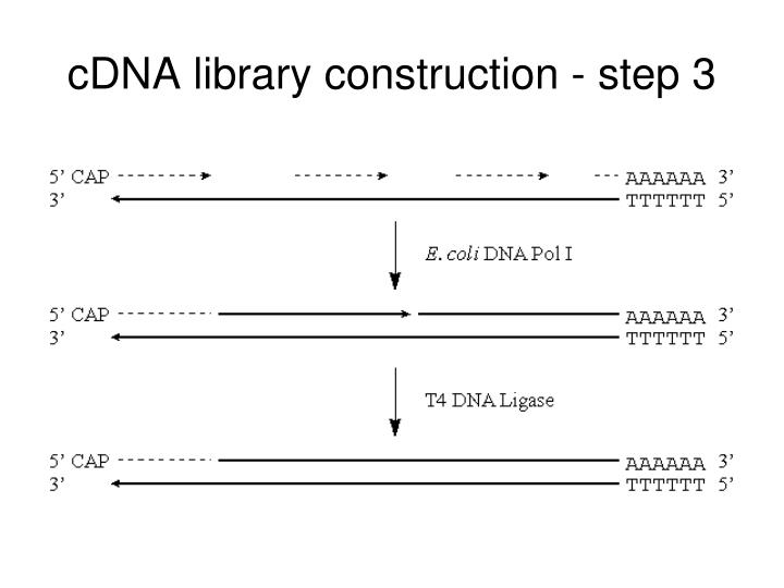 cDNA library construction - step 3