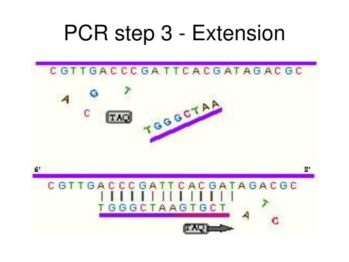 PCR step 3 - Extension