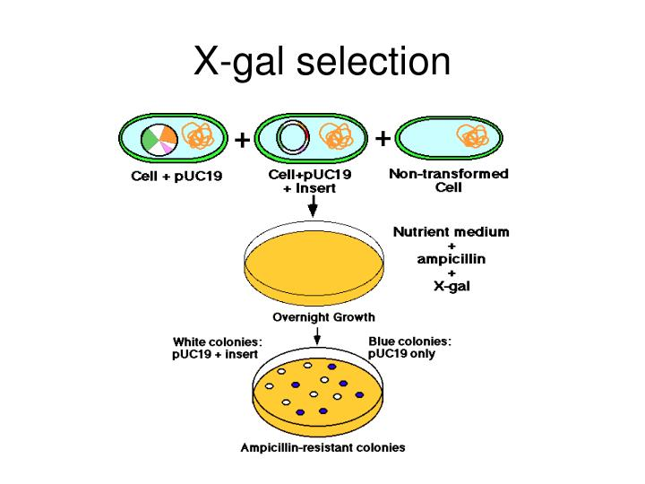 X-gal selection
