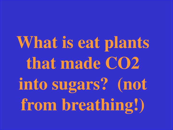 What is eat plants that made CO2 into sugars?  (not from breathing!)