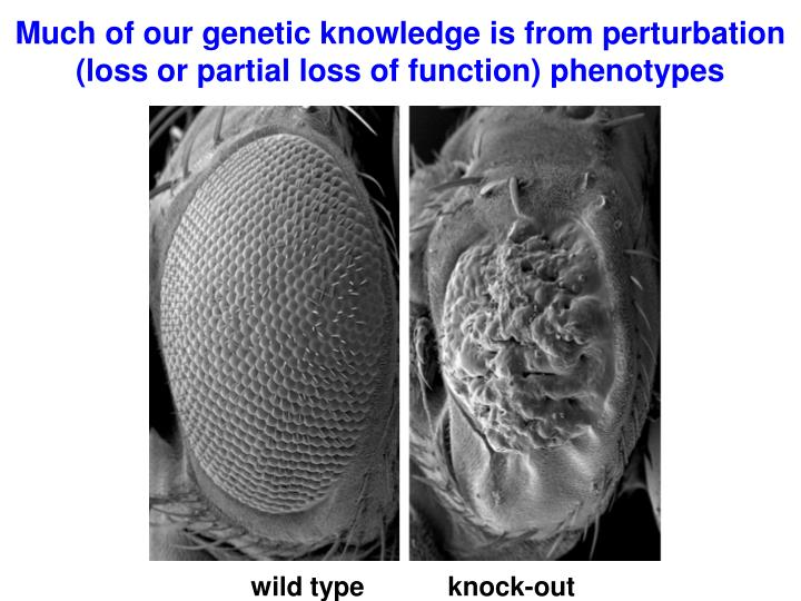 Much of our genetic knowledge is from perturbation loss or partial loss of function phenotypes