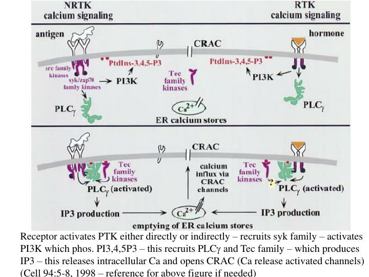 Receptor activates PTK either directly or indirectly – recruits syk family – activates