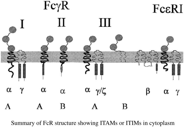 Summary of FcR structure showing ITAMs or ITIMs in cytoplasm