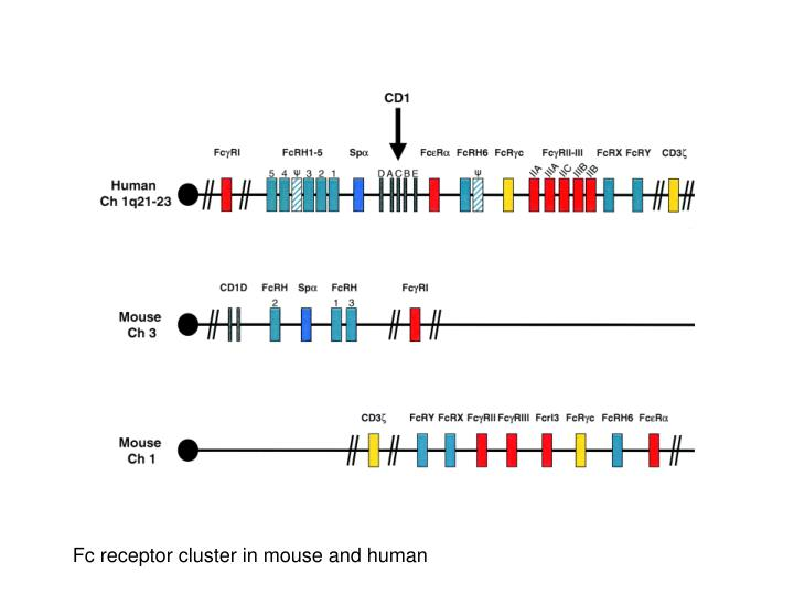 Fc receptor cluster in mouse and human