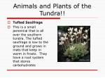 animals and plants of the tundra12