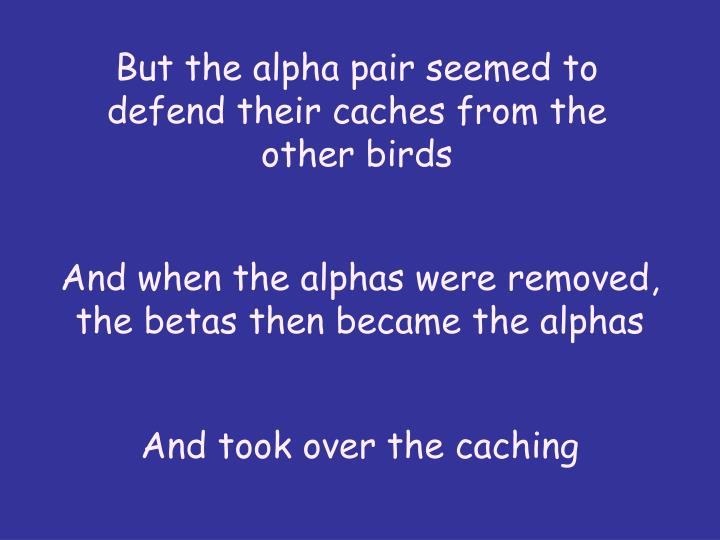 But the alpha pair seemed to defend their caches from the other birds
